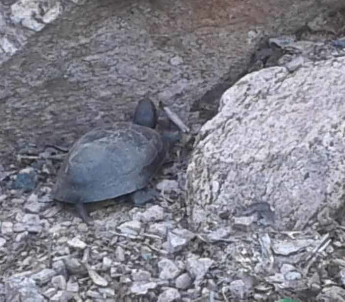 Turtle after laying eggs July 10, 2017